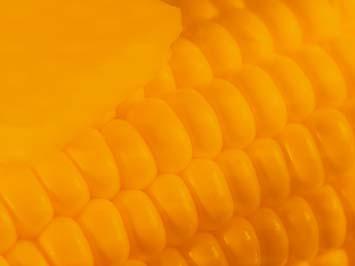 Corn 03 PowerPoint Template