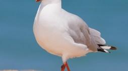 Most Common Birds of Australia