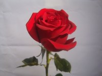 rose images for rose day