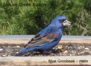 blue grosbeak - male