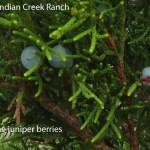 ashe juniper berries