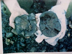 Opened Nodule reveals a Coeloma Crab inside