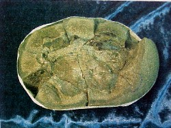 Bottom of the nodule containing the fossil coeloma crab