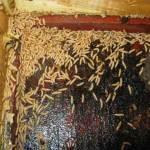 SHB Larva. A serious infestation.