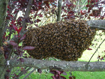 A swarm of honey bees on a tree branch.