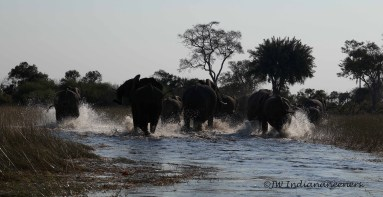 Elephant Breeding Herd - young and babies always protected by the mothers.