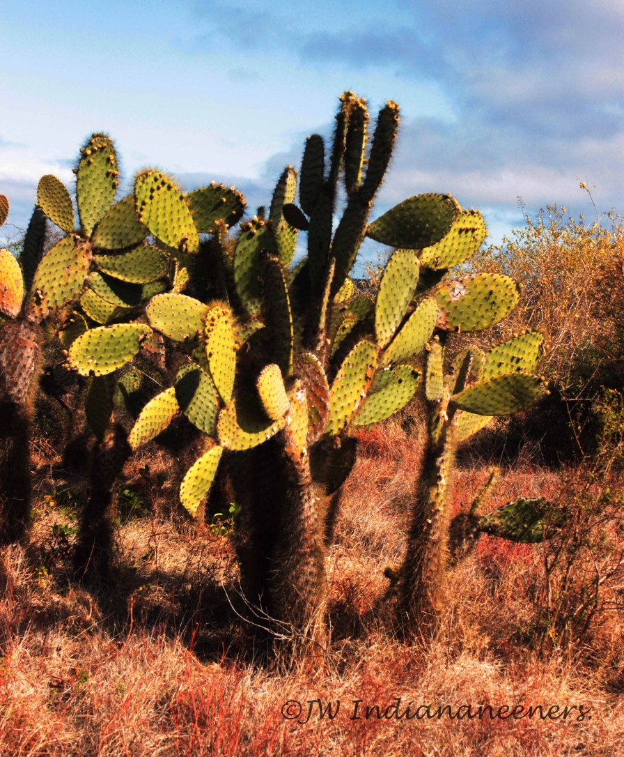 The prickly pear cactus can be found all over the Galapagos.
