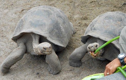 The Giant Tortoise, Galapagos Islands most iconic animal.