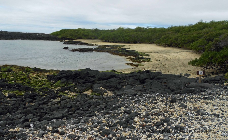 Mangrove Shoreline at Tintoreras Islet.