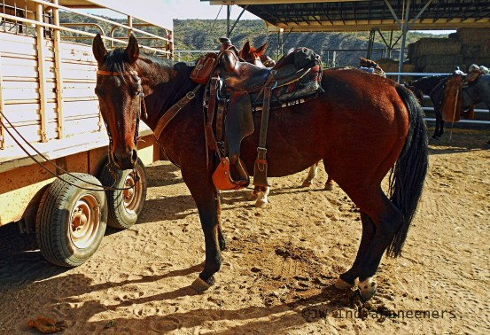 The American Quarter Horse is extremely muscular, perfect confirmation for cattle work.