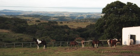 The horses live out in a natural herd 24/7 and are ridden barefoot.