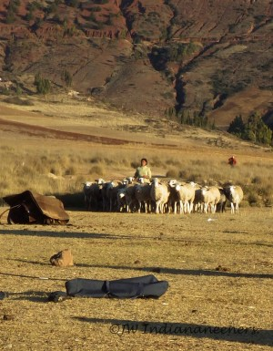 Many of the local Quechua children herd their own sheep and cattle......