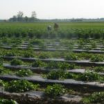 Watermelon Field