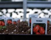 Tomato Tag