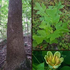 Poplar Trees How To Identify A Poplar Tree In Indiana