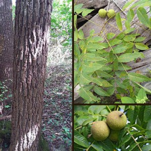 Walnut Tree - How To Identify A Walnut Tree In Indiana