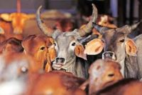 Goa to seek changes in Centre's cattle notification_indianbureaucracy