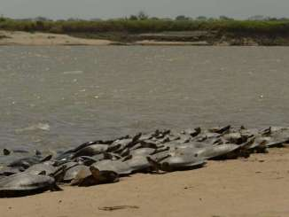 Conservation efforts for giant South American river turtles have protected 147,000