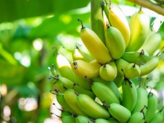 Artificial intelligence helps banana growers protect