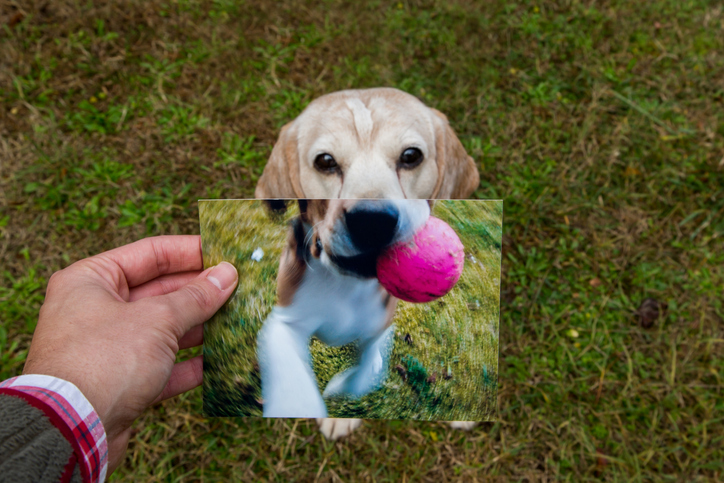 Now and Then. Comparison of a senior Beagle with his photograph when he was a puppy.