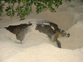 Cayman Islands sea turtles