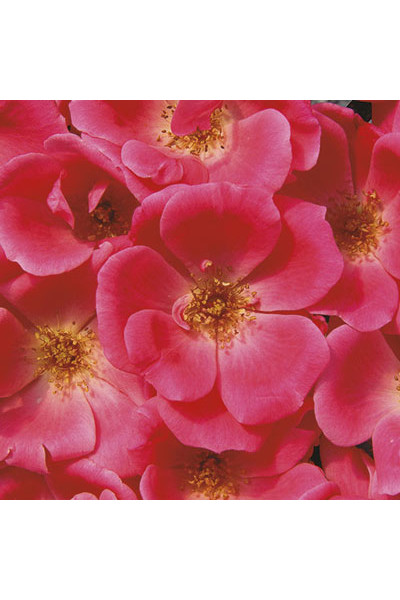 Pink Knock Out Shrub Rose plants for sale in Omaha
