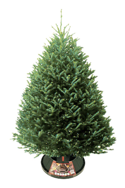 Fraser Fir Christmas Tree in Omaha