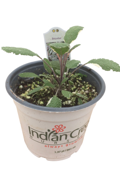 Tricolor Sage herb plants for sale in Omaha