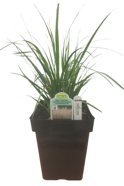 Karl Foerster Reed Grass plants in Omaha