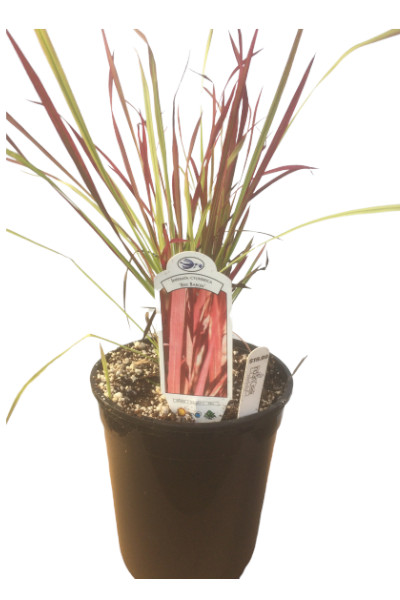 Red Baron Japanese Blood Grass plants in Omaha
