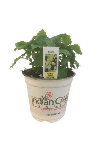 Lemon Balm plants in Omaha