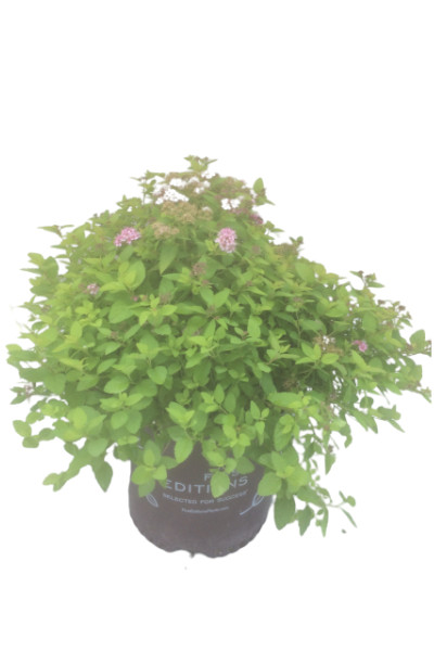 Sundrop Spirea plants in Omaha