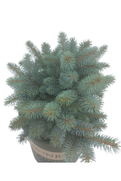 Dwarf Globe Blue Spruce evergreen in Omaha
