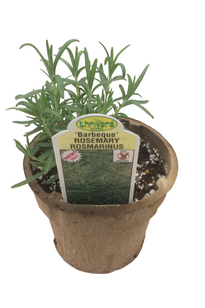 Rosemary Barbeque plant