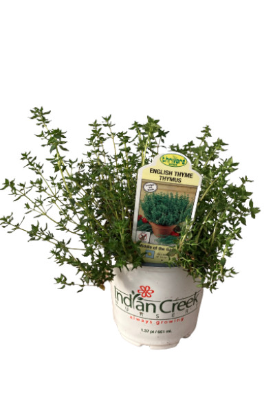 English Thyme plants for sale