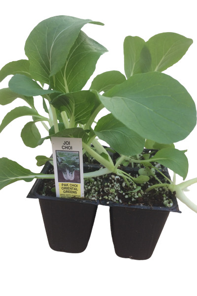 Pak Choi Cabbage vegetable plants for sale in Omaha