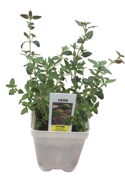 Thyme herb plants in Omaha