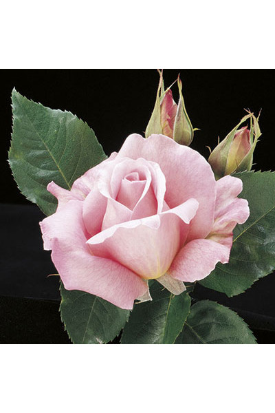 Tiffany Rose plants for sale