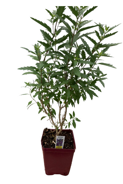 Caryopteris First Choice plants for sale