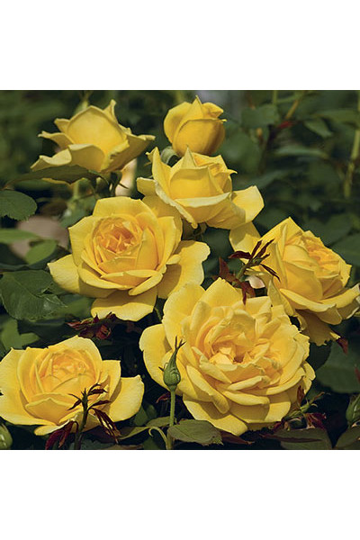 Ch-Ching Grandiflora Rose plants for sale
