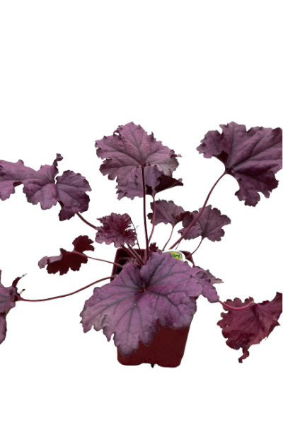 Coral Bells Forever Purple plants for sale