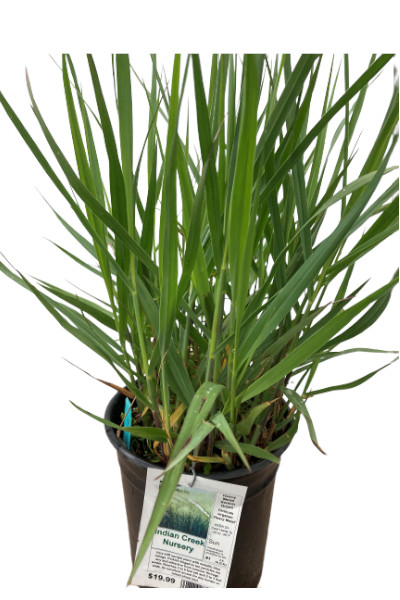 Heavy Metal Switch Grass plants for sale