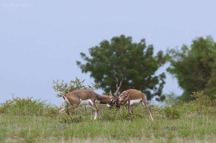 Rollapadu_Wildlife_Sanctuary