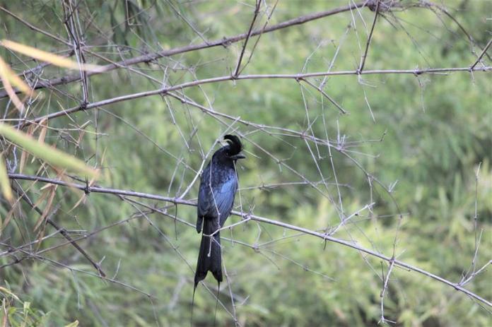 Racket-tailed Drongo