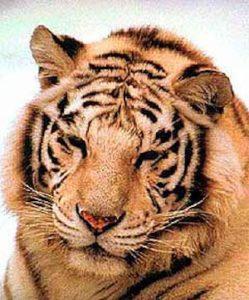Madumalai tiger