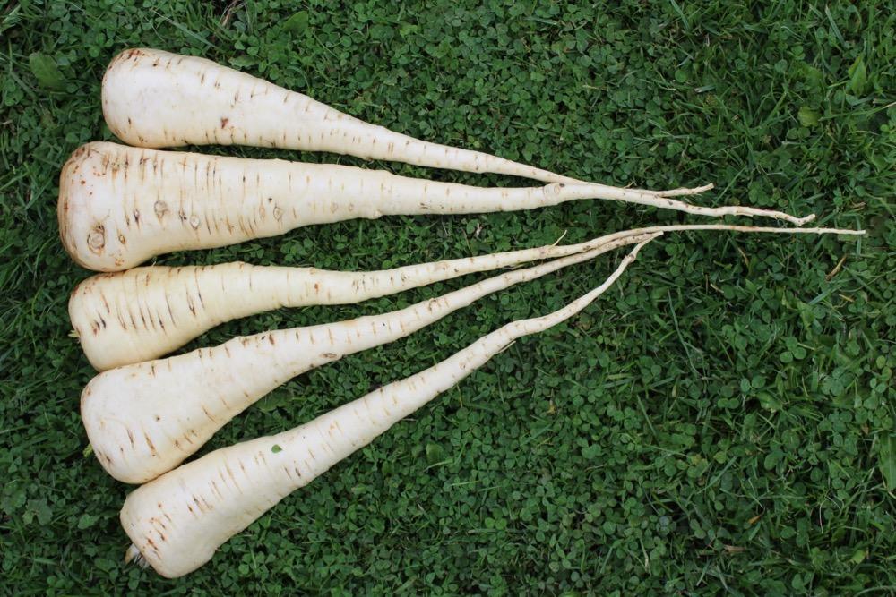 parsnips grown in undug heavy soil below 8 inches