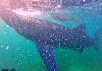 oslob filippine whale shark watching squali balena