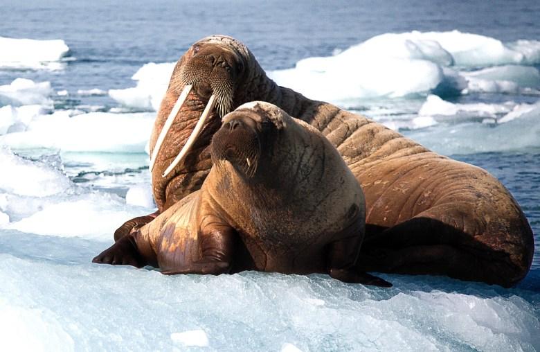 Walrus & Cub