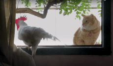 A 'Pet Chicken From Hell' Gets the Star Treatment in a New York Times Op-Doc