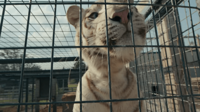 Tiger King Netflix White Tiger